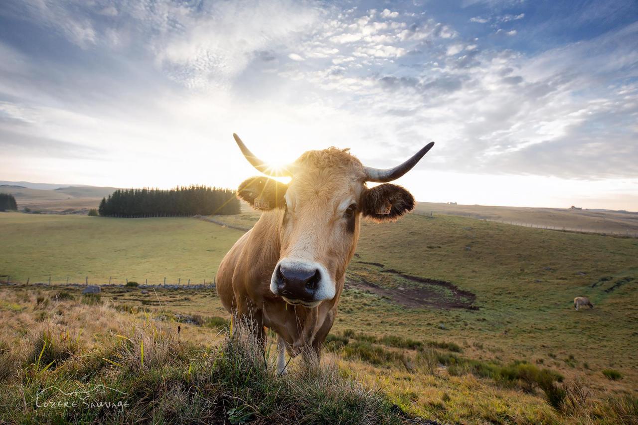 Jolie vache de Lozère