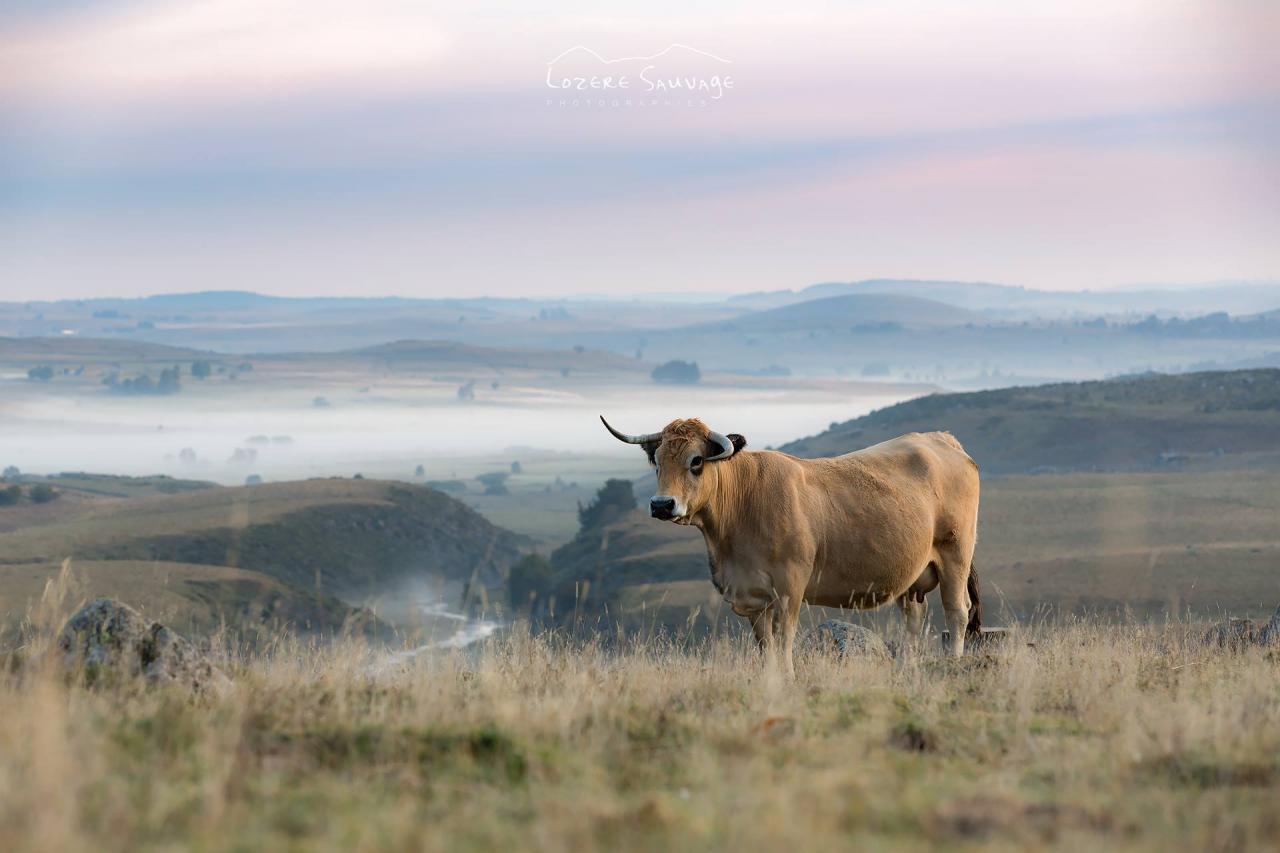 Les belles vaches Lozérienne