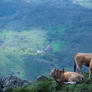 Vaches de Lozère